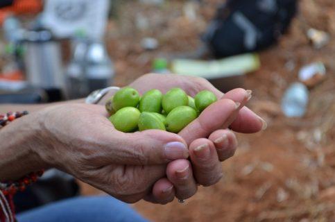 L'UAWC conserve l'héritage des semences palestiniennes rares qui ont été soigneusement transmises d'une génération à l'autre