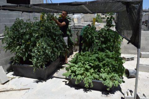 Les Palestiniens font pousser des plantes de comcombres, de tomates sur les toits des maisons