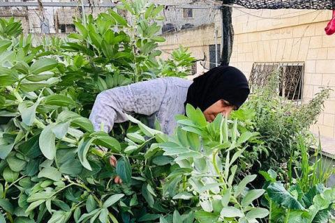 Les Palestiniens cultivent des plantes sur leurs terrasses et toits pour contrer les retombées économiques de la crise du coronavirus.