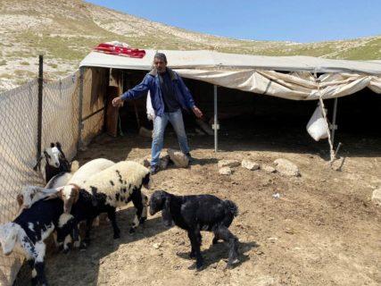 Un Bédouin soigne ses chèvres et moutons près de Bethléem. Au fil des années, les chèvres ont été massacrées afin de forcer les Bédouins à abandonner leur mode pastoral d'existence. (Photo : Reuters)
